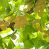 Ginko biloba: Drvo mladosti