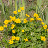 Kaljužnica – snažna prolećna isceliteljka